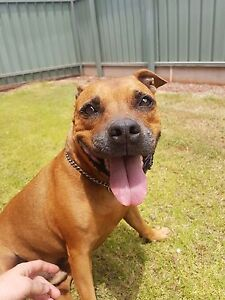 Staffy (American x English) to a good home Yokine Stirling Area Preview