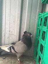 Highflyer pigeons Epping Whittlesea Area Preview