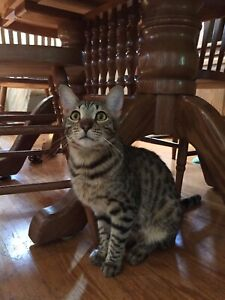Savannah | Adopt Cats & Kittens Locally in Ontario | Kijiji