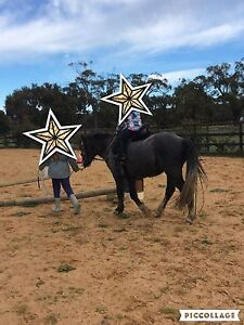 Mikey Welsh pony, suit beginner or lead line Ballan Moorabool Area Preview