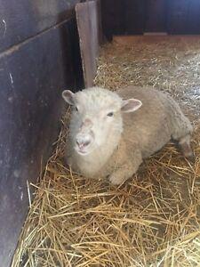 11 sheep for sale