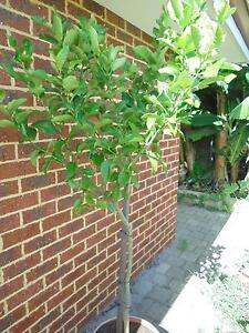 EUREKA LEMON TREE  5 YEARS OLD Canning Vale Canning Area Preview