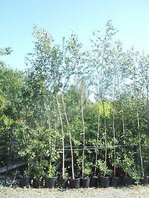 XXL Silver Birch Betula Pendula 15 ft  tree 20L pot NO POSTAGE
