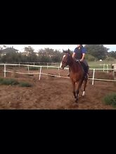 Project thoroughbred gelding Munster Cockburn Area Preview