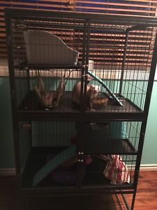 8 month old male Ferrets and cage $800