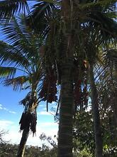 3 metre Kentia Palm - 2 available Duffys Forest Warringah Area Preview