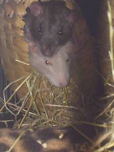 Male Pet Rat Service Hobart CBD Hobart City Preview