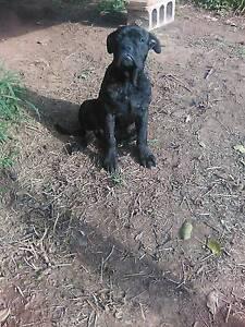 mastiff x mastiff female( puppy gone ) Coowonga Rockhampton Surrounds Preview