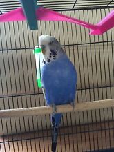 Hand raised budgies for sale with cage Riverstone Blacktown Area Preview