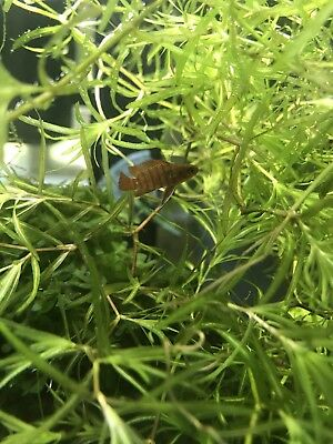 ON SALE Water Plants Guppy Grass Najas Baby fish, fries, shrimps Nano Aquarium.