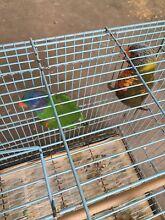 Breeding pair of rainbow lorikeets Ipswich Ipswich City Preview