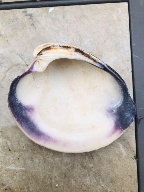 """Lot of 4 Natural Hard Clam Shells, 4-4.5"""" Long Seashells Atlantic Ocean"""