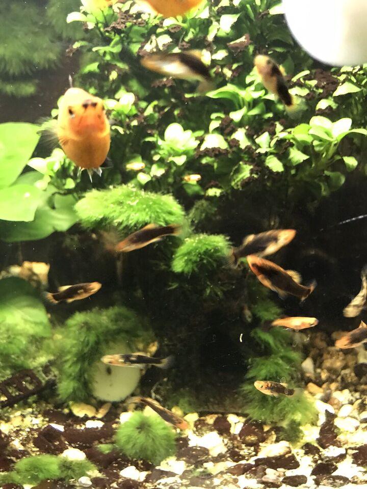 Korallenplaty Platy Fische Nachwuchs Aquarium (momentan keine) in Lindenberg