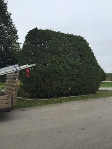 Tree and hedge services  London Ontario image 10
