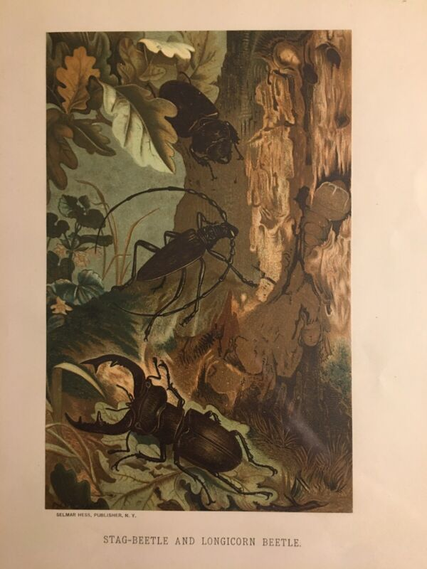 "Authentic 1800's Color Engraving ""Star & Longicorn Beetle"" Selma Hess & Prang!"