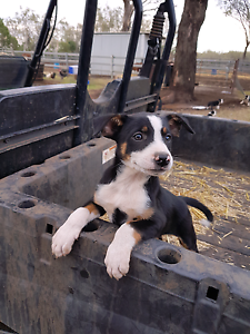 Border Collie Puppies Oakey Toowoomba Surrounds Preview