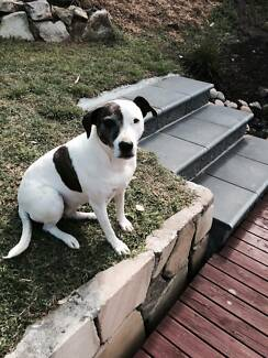 Bella the beautiful Staffy X is looking for her furever home Mardi Wyong Area Preview