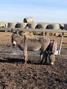 Jenny Donkeys