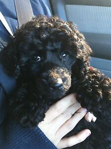 toy poodle Glen Iris Boroondara Area Preview