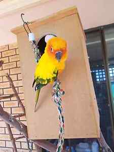 Missing sun conure Greenwood Joondalup Area Preview