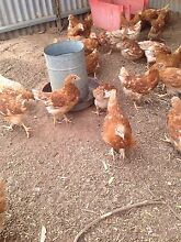Young ISA brown chickens for sale. Mallala Mallala Area Preview