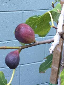 FIG TREE (edible Black Genoa #2 tree 60cms, bearing fruit)