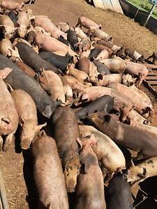 Free range pigs for sale Kyogle Area Preview