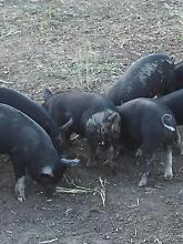 Berkshire Piglets Wivenhoe Pocket Somerset Area Preview