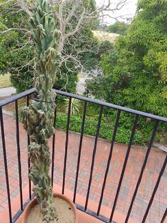 Cereus peruvianus monstrose cactus. Peruvian apple cactus