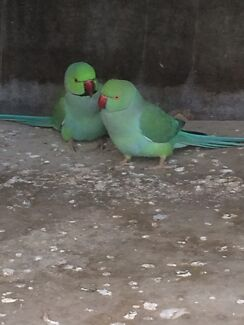 Indian Ringnecks for sale  East Maitland Maitland Area Preview