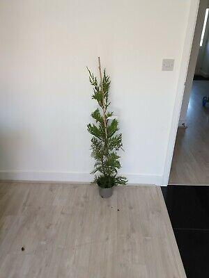 3 x leylandii hedging 4ft plus cupressocyparis