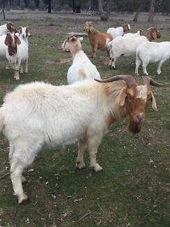 Cross boer goat buck