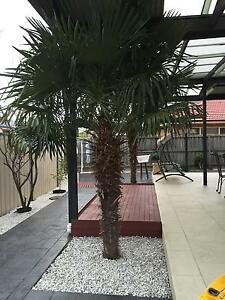 PALM TREES (nicely grown) Keysborough Greater Dandenong Preview