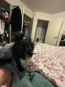 Lost Dog - Toy poodle