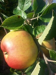 Bramley's Seedling Apple Tree 5-6ft Ready to Fruit,The Most Popular Cooker