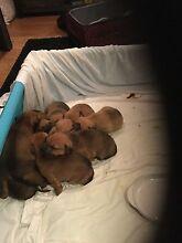 Staffy mastiff x Medowie Port Stephens Area Preview