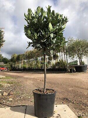 Standard Laurus nobilis (Bay) 12L 100-110cm Excl. Pot  50cm Head