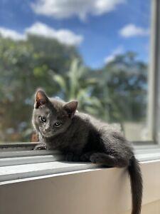 Purebreed Russian Blue kitten- SOLD. PENDING PICKUP