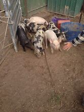 Barkshire X larger white piglets Bathurst Bathurst City Preview