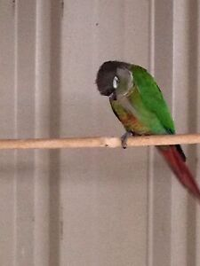 Green cheeked conure pairs Cessnock Cessnock Area Preview