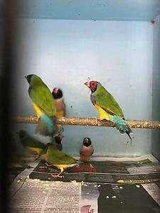 Gouldian Finch Pairs Sutherland Sutherland Area Preview
