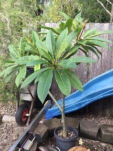 5 foot established plant