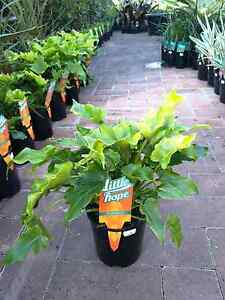 "Philodendron ""little hope"" plants! Springwood Logan Area Preview"