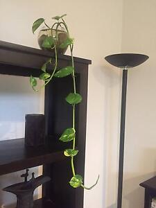 Devil's Ivy and many other Indoor Plants Gladesville Ryde Area Preview