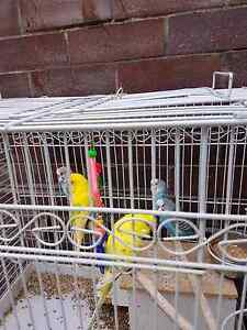 Budgies and cockatiels Punchbowl Canterbury Area Preview