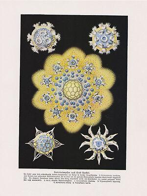 Radiolarienzellen Radiolarien nach Ernst Haeckel Strahlinge  Farbdruck von 1912