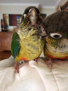 Handreared green cheeked Conure's Sunbury Hume Area Preview