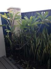 Frangipani and Cacti plant for sale Carine Stirling Area Preview