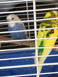 Breeding Pair Of Budgies (Proof of their clutch )