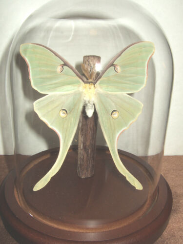 Luna Moth Dome